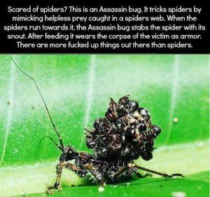 Assasin bug