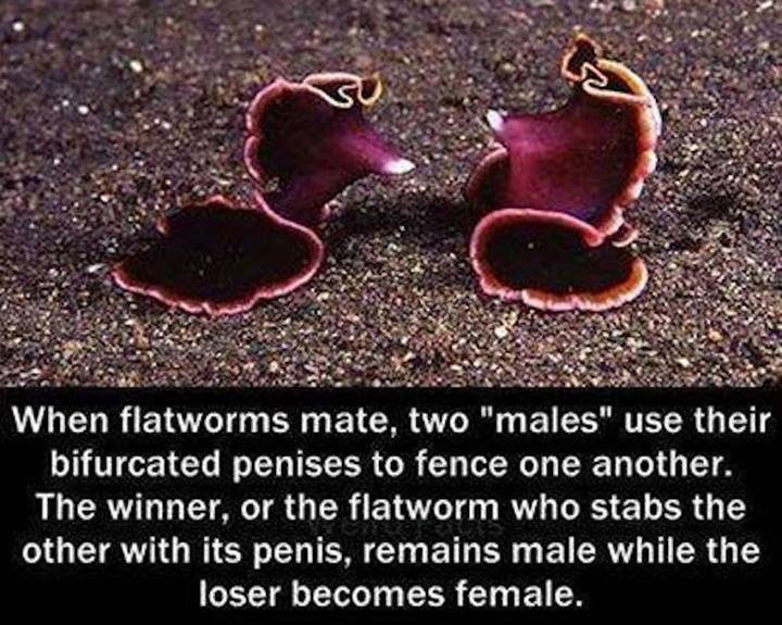 Flatworm Sex