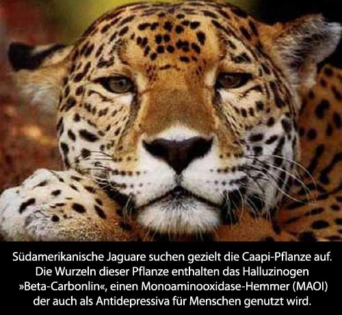 Jaguar auf Drogen_DE